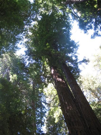 die höchsten Bäume, nördlich von San Francisco